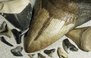 Beberapa Fosil Langka Gigi Hiu Prasejarah Ditemukan Di Pantai Australia
